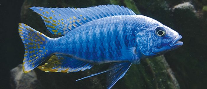 3 Best Recommendations For Effective African Cichlid Keeping